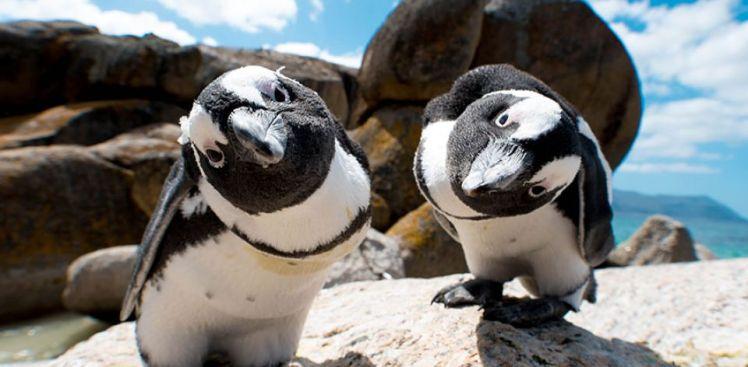 Boulders-Beach-Penguins_960_472_80auto_s_c1_center_center